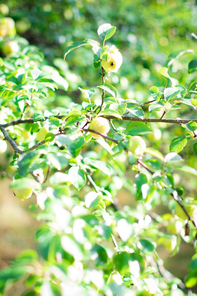 Äppleträd - Vackra äpplen i höstsolen | photobymj.se